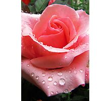 Pink Rose with Dew  Photographic Print