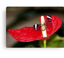 Glasswing on Lily Canvas Print