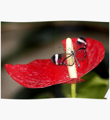 Glasswing on Lily Poster
