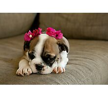 Bulldog puppy Photographic Print