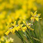 Daffodil Chorus by Marilyn Cornwell