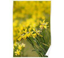 Daffodil Chorus Poster