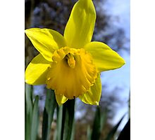 A sunny daffodil Photographic Print