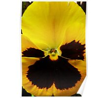 Golden Black Eyed Pansy Violet Yellow Flower Poster