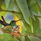 Hummingbird on nest by jimmy hoffman