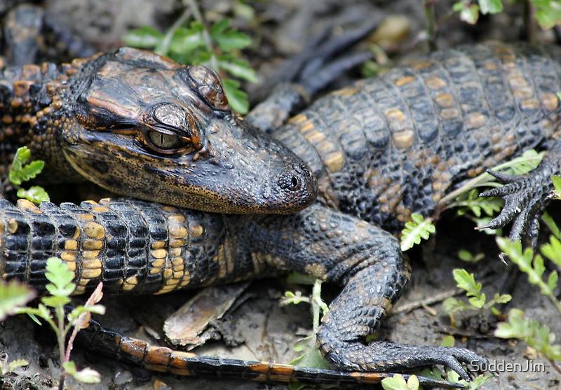 Baby Alligator by SuddenJim