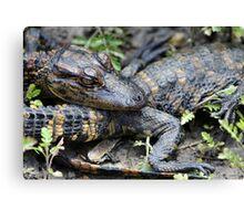Baby Alligator Canvas Print