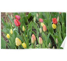 Tulips in Bud Poster