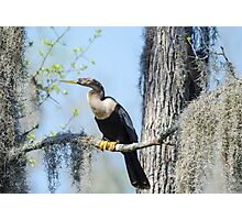 Anhinga Perched with Spanish Moss Photographic Print
