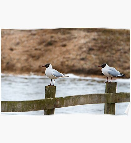 Two Black headed Gulls stood on a fence Poster