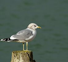 Common Gull by Sue Robinson