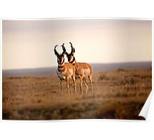 Two male Pronghorn Antelopes in Alberta Poster