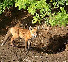 Fox kit by its den in Saskatchewan by pictureguy