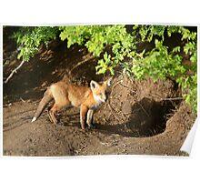 Fox kit by its den in Saskatchewan Poster