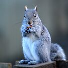 Grey Squirrel 3 by Jane-in-Colour