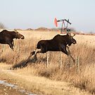 Young moose leaping over barbed wire fence by pictureguy