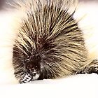 A cold porcupine in winter by pictureguy