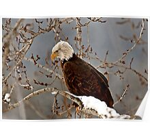 Bald Eagle perched in tree Poster
