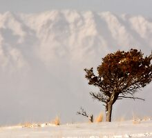 Lone tree on High Plains with Rocky Mountains in distance by pictureguy