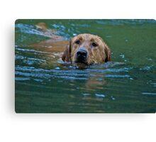 Swimming Labrador Retriever Canvas Print