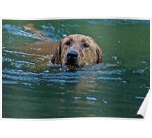 Swimming Labrador Retriever Poster
