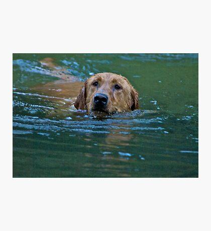 Swimming Labrador Retriever Photographic Print