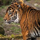Sumatran Tiger by Simon Osbaldeston