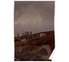 Hill Sheep, England Poster