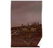 Hill Sheep 2 , England  Poster