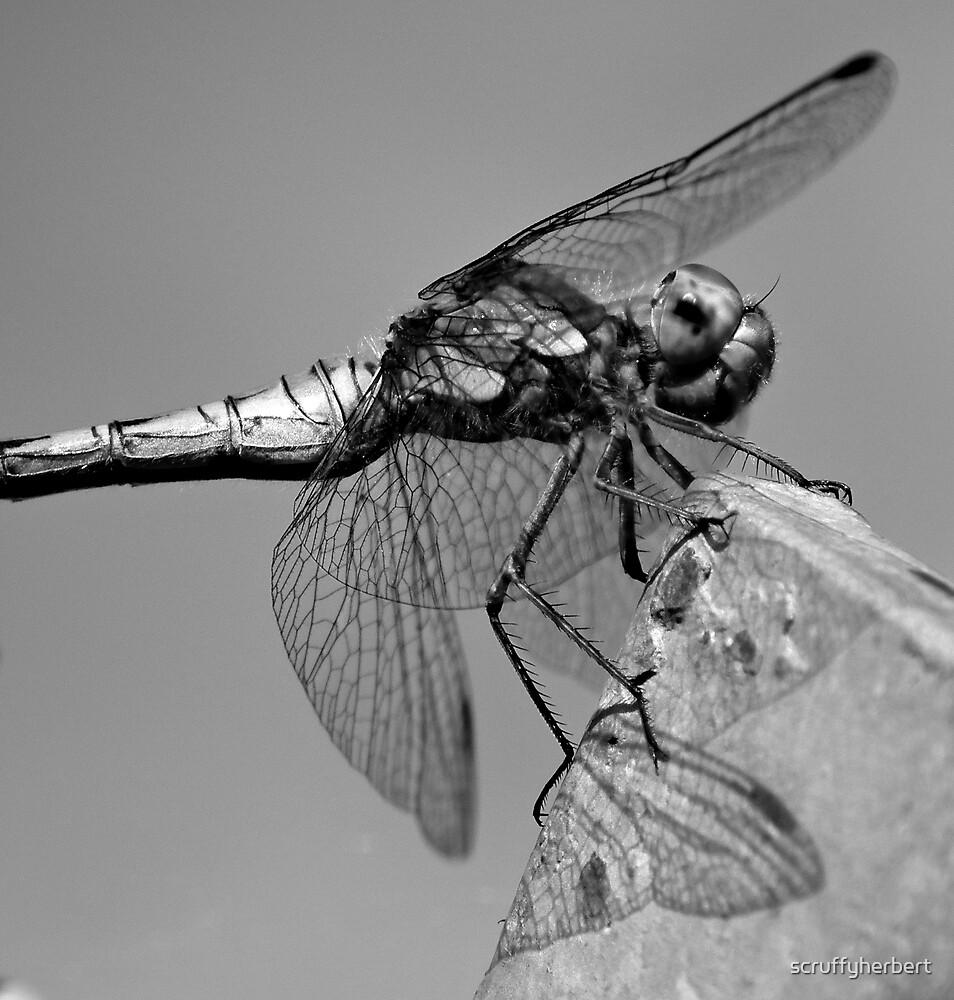 Drgonfly by scruffyherbert