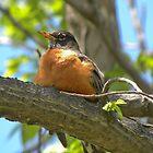 Robin by Tjfarthing