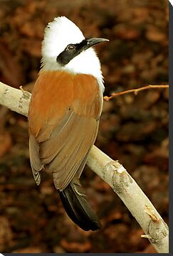 White-crested Laughing Thrush  by Kimberly Chadwick