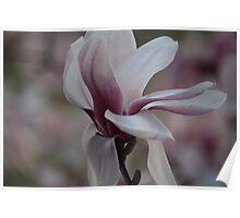 Tulip Magnolia  Poster