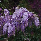 Wisteria at Paestum by Francis Drake