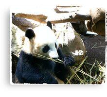 Panda Eating More Bamboo Canvas Print