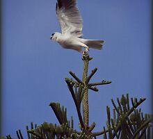 Grey Goosehawk by Anthony Superina