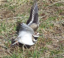 Killdeer by James Brotherton