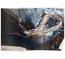 Tiger Snake - Notechis scutatus Poster