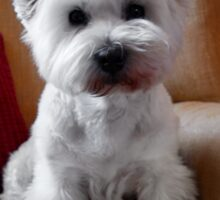 Molly the Westie Sticker