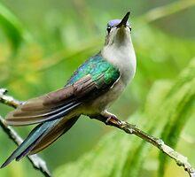 Violet Saberwing female hummingbird by Linda Sparks