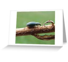 The Pale Green Weevil- Plydrosus impressifrons Greeting Card