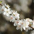 Flowering branch of cherry by flashcompact