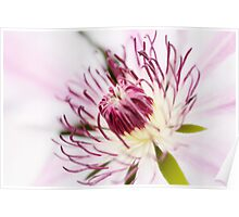 Pink Clematis Close Up - Dreamy Poster
