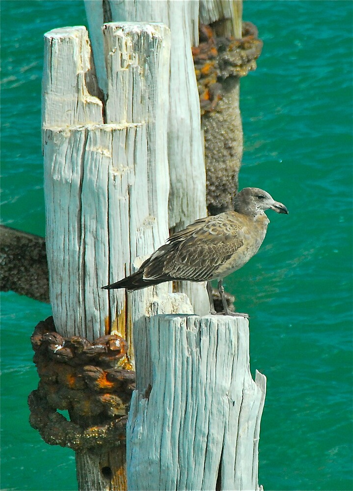 Baby Pacific Gull by peasticks