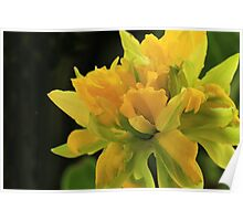 Curly Daffodil with Black Background Poster