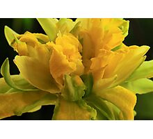 Curly Daffodil Photographic Print