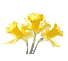 Sunny Daffodils on White Photographic Print