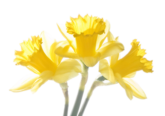 Sunny Daffodils on White by Ra12