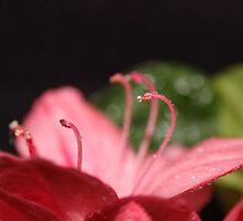 Pink Azalea by aprilann