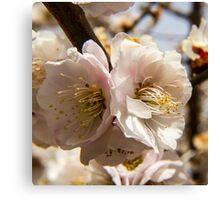 Spring Cherry Blossom Macro Canvas Print
